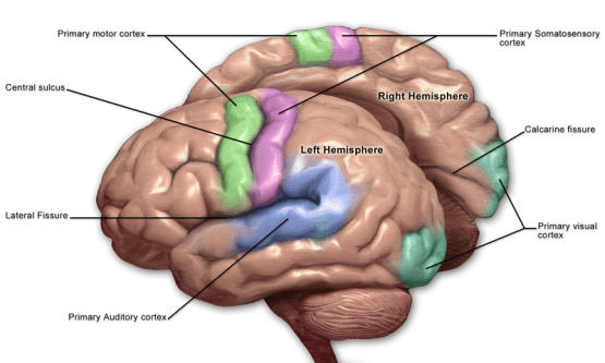 Primary and Secondary Somatosensory Cortex - Side by Side Comparison