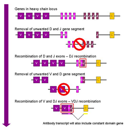 Somatic Hypermutation vs V(D)J Recombination in Tabular Form