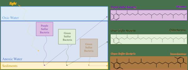 Green vs Purple Sulfur Bacteria in Tabular Form
