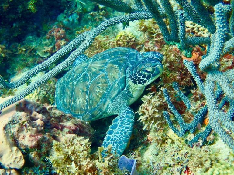 Une tortue dans les eaux chaudes de la Caraïbe