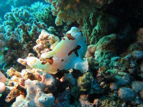 Observation d'un frogfish occupé à se déplacer lors d'une plongée