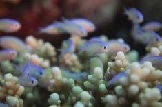 Des minuscules poissons au milieu du corail