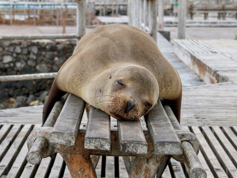Une otarie se repose sur un banc aux Galapagos