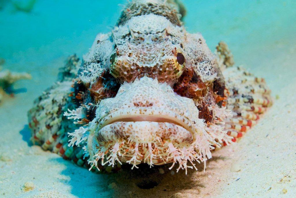 Poisson pierre photographié de face