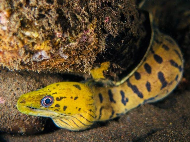 Une murène jaune sortant d'une crevasse
