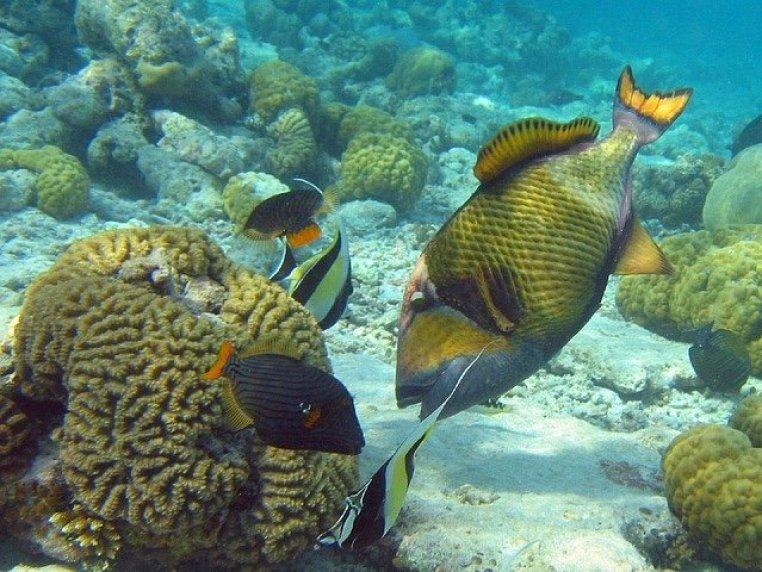 Un baliste titan près du corail