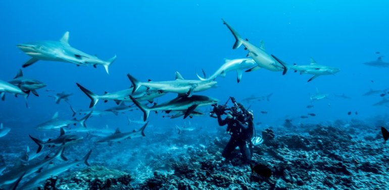 Un plongeur photographie les requins à Fakarava