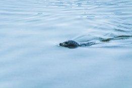 Un phoque nage dans les eaux glacées de l'ice lagoon en Islande