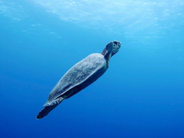 Une tortue en pleine eau remonte vers la surface