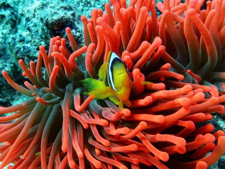 Photo sous-marine d'un poisson clown dans son anémone rouge