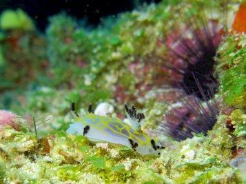 Un nudibranche dans les eaux chaudes de Mayotte