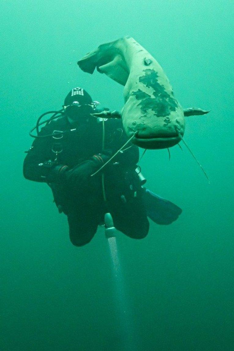 Un silure entre un plongeur et moi