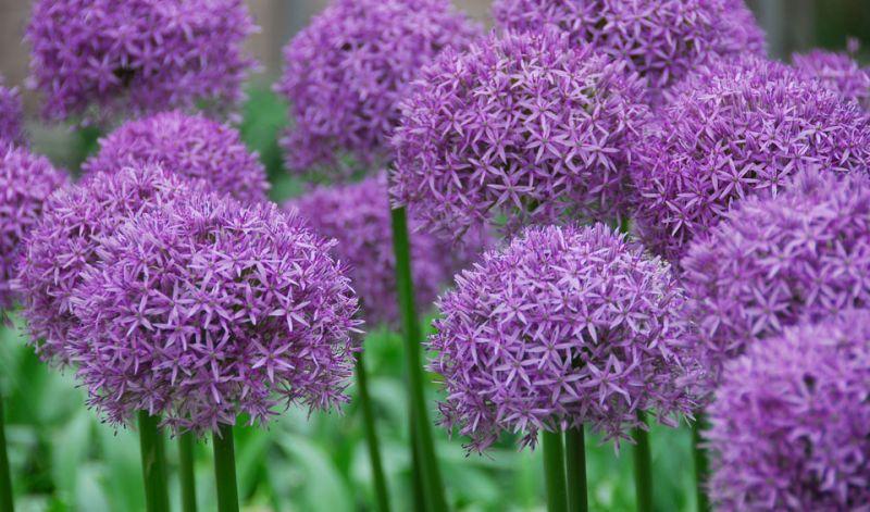 Decorative Plant Garlic