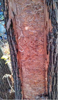 A heavily infested ash tree detected in Worcester, Massachusetts in 2015. Removal of the bark revealed extensive s-shaped feeding galleries from emerald ash borer larvae.