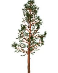 ForestPine1