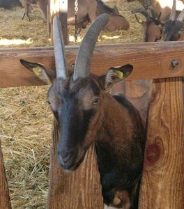 Foto: neugierige Ziege: Ziegenfest auf dem Berghof Schöllkrippen