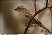 House Sparrow - A female House Sparrow