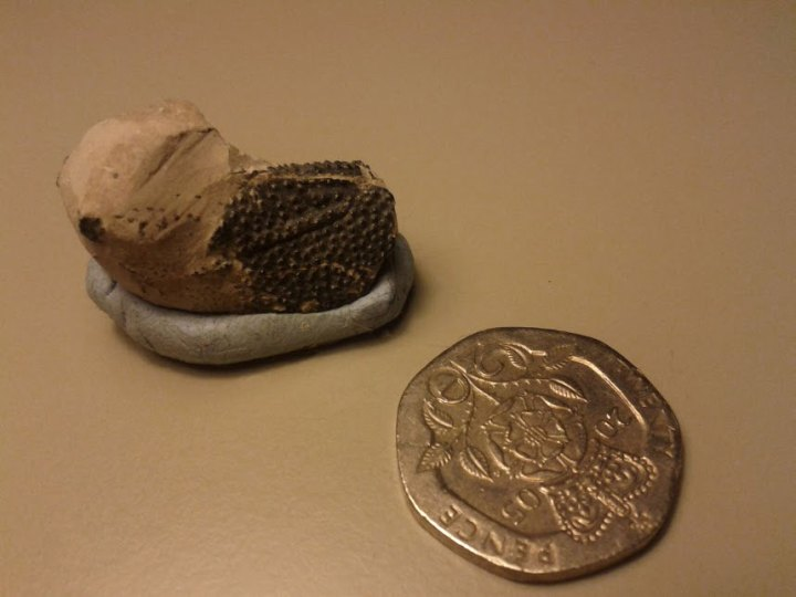 The Jurassic crab carapace (or possibly claw - we'll find out one of these days).