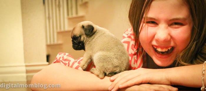pug puppy photo