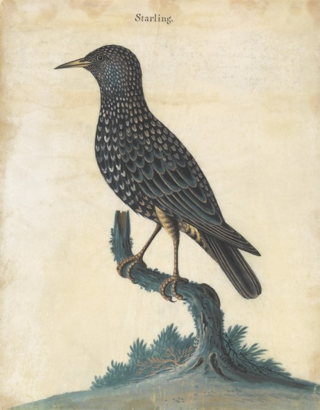 Isaac Spackman (1700–1771), A Starling,