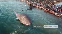Ikan Paus Biru Mati Terdampar di Pesisir Pantai Kota Kupang