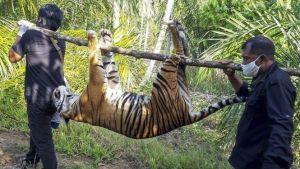 Harimau Sumatera Ditemukan Mati di Perkebunan MasyarakatAceh