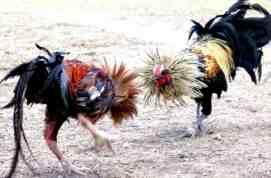 Grebek Judi Sabung Ayam, Polisi Amankan PNS dan Uang Jutaan Rupiah