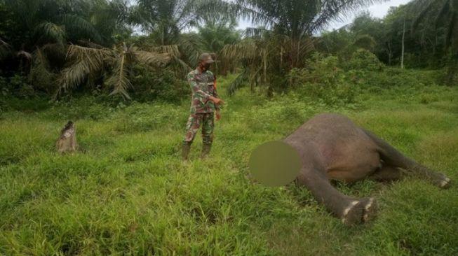 Bentuk Timsus, Polisi Buru Pembunuh Gajah Hilang Kepalanya di Aceh Timur