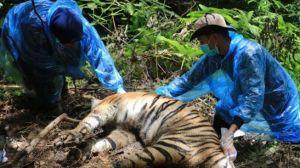 Sedih 3 Harimau Mati Dijerat, Bupati Aceh Selatan Kenang Bantuan Harimau Saat Tersesat di Hutan