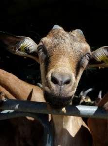 Chèvres fermiers : Chevenet casse la baratte