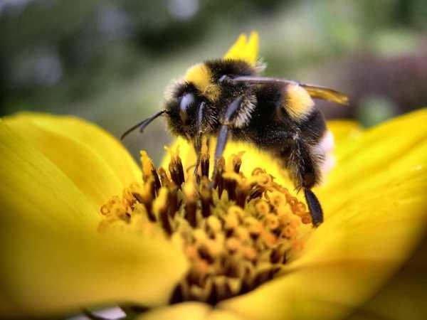 abeille-apis-mellifera-butinage-fleur