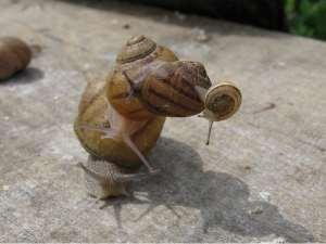 L'escargot bourguignon peut-il nourrir la planète?