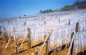 Gel des vignes: Beaune prône l'état de catastrophe naturelle