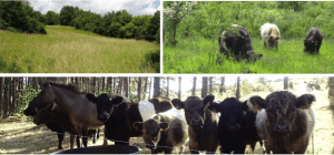 Bienvenue aux vaches Galloway de Chassey-le-Camp