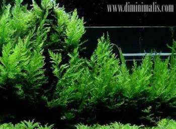 Jenis Tanaman Aquascape, Jenis Tumbuhan Aquascape, Jenis Tanaman aquascape untuk middle ground dan background
