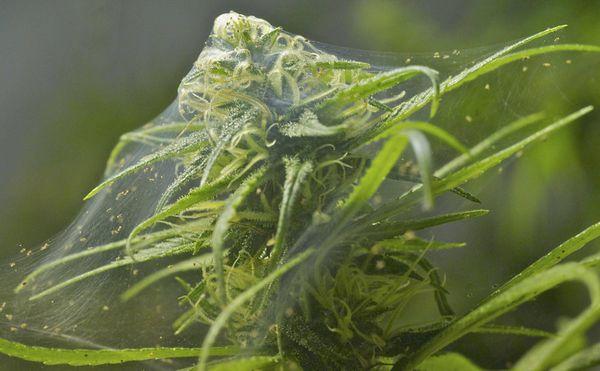 fleaux frequents cultivation cannabis araigne