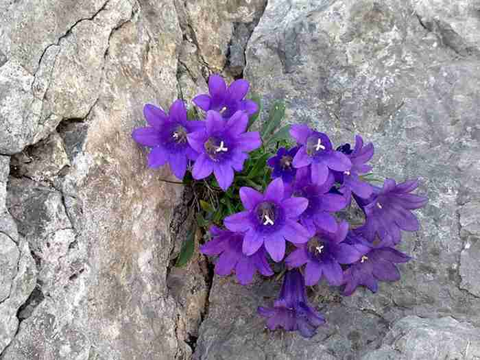 Στον Όλυμπο φυτρώνει ένα λουλούδι που δεν υπάρχει πουθενά αλλού στον κόσμο!