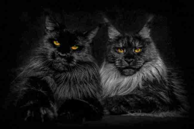 Αυτές οι γάτες Μέιν Κουν μοιάζουν με μαγικά μυθικά τέρατα