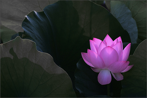 https://i1.wp.com/www.dingtwist.com/wp-content/uploads/2013/12/lotus-flower-photo.jpg