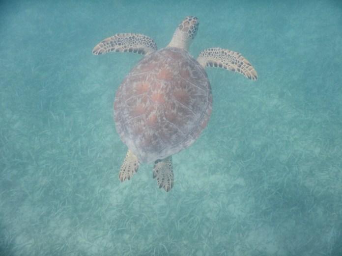 Sea Turtles at Playa Tamarindo  Two Days in Culebra