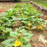 Yellow Squash in Garden