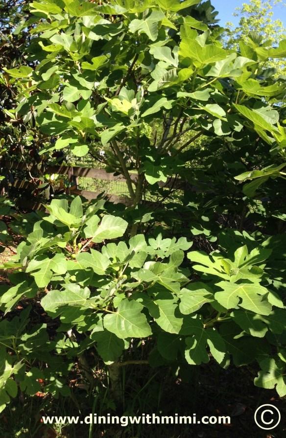Mimi's Fig Tree www.diningwithmimi.com