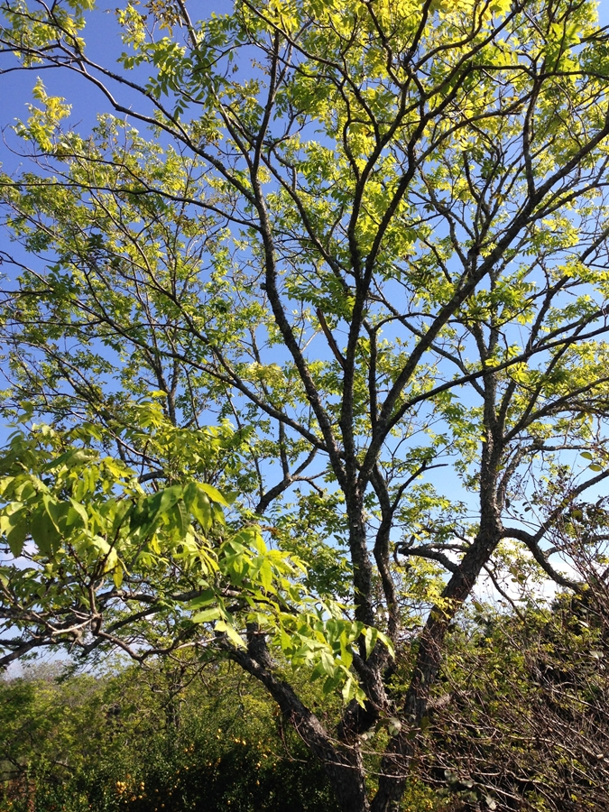 Blue sky over a large pecan tree Homemade Candied Pecans www.diningwithmimi.com