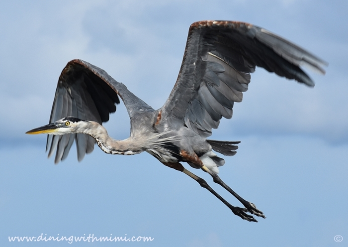 Gray Heron flying Unwind on Dauphin Island www.diningwithmimi.com