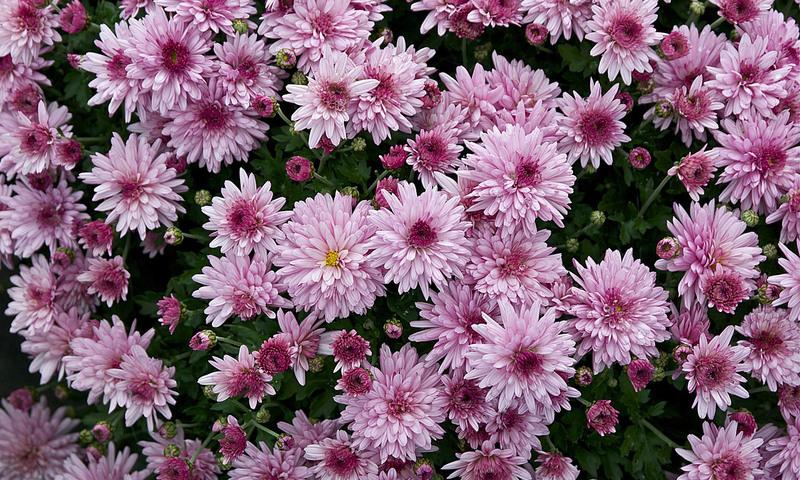 Flori perene pentru gradina ta