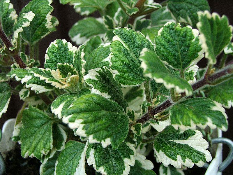 20 plante anti-tantari din gradina - Plectranthus coleoides