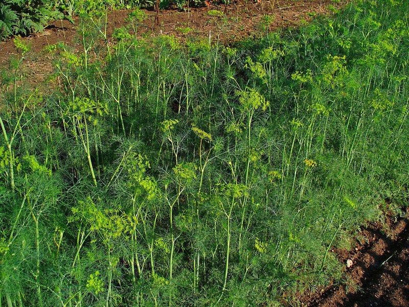 Plante aromatice anti-tantari din gradina - anethum graveolens