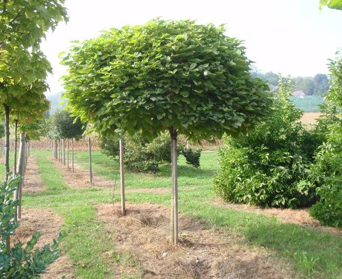 20 plante anti-tantari din gradina - catalpa bignonioides nana