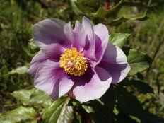 Paeonia mascula Sursa foto - commons.wikimedia