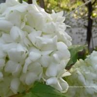 Viburnum opulus Roseum, adevaratul Bulgaras sau  Boule-de-neige